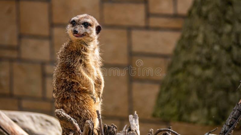 Αστεία meerkat surikate στο ζωολογικό κήπο στοκ εικόνα με δικαίωμα ελεύθερης χρήσης