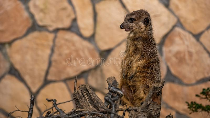 Αστεία meerkat surikate στο ζωολογικό κήπο στοκ φωτογραφία
