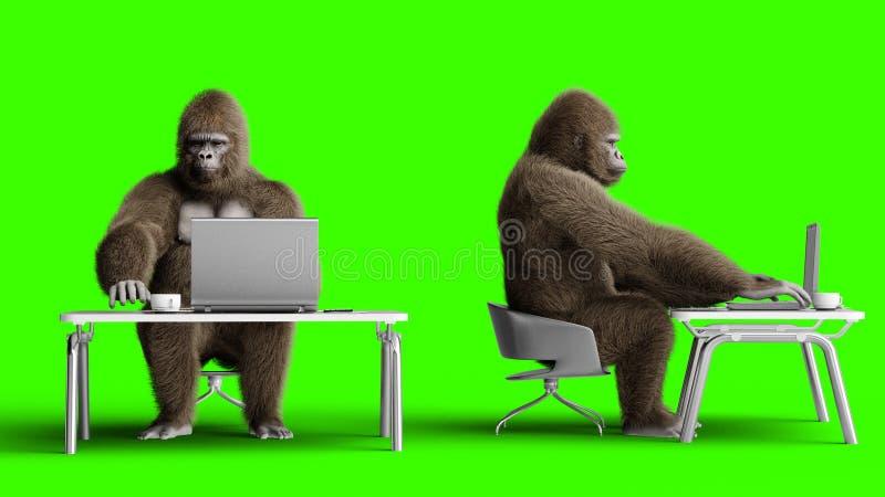 Αστείες καφετιές εργασίες γορίλλων πίσω από έναν υπολογιστή Έξοχες ρεαλιστικές γούνα και τρίχα πράσινη οθόνη τρισδιάστατη απόδοση απεικόνιση αποθεμάτων