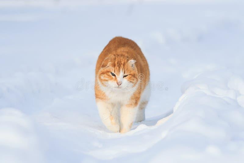 Αστείοι κόκκινοι φωτεινοί περίπατοι γατών στο άσπρο χιόνι μεταξύ snowdrift στοκ εικόνες