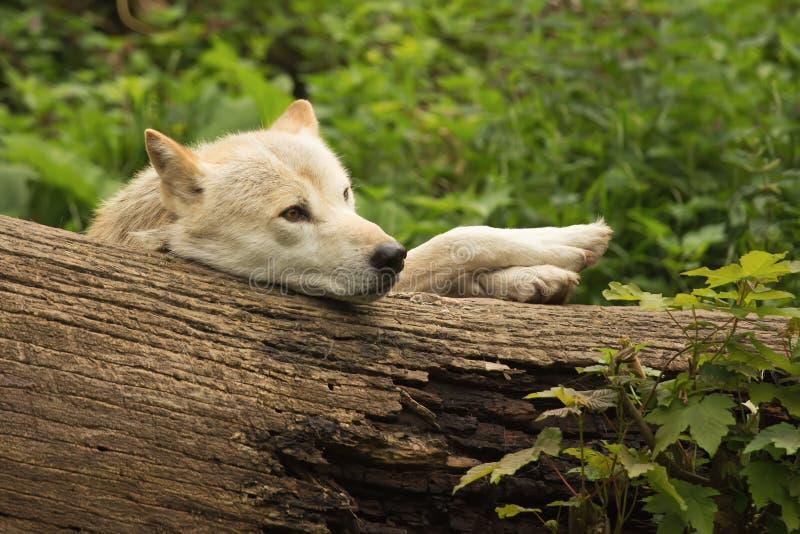 Αστείος άσπρος λύκος στοκ εικόνες με δικαίωμα ελεύθερης χρήσης