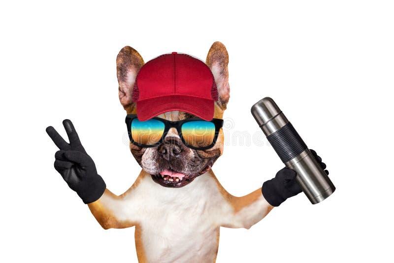 Αστείο γαλλικό μπουλντόγκ πιπεροριζών σκυλιών στα γυαλιά ηλίου σε μια κόκκινη ΚΑΠ ένας ταξιδιώτης με thermos στα χέρια του Ζώο πο στοκ φωτογραφίες
