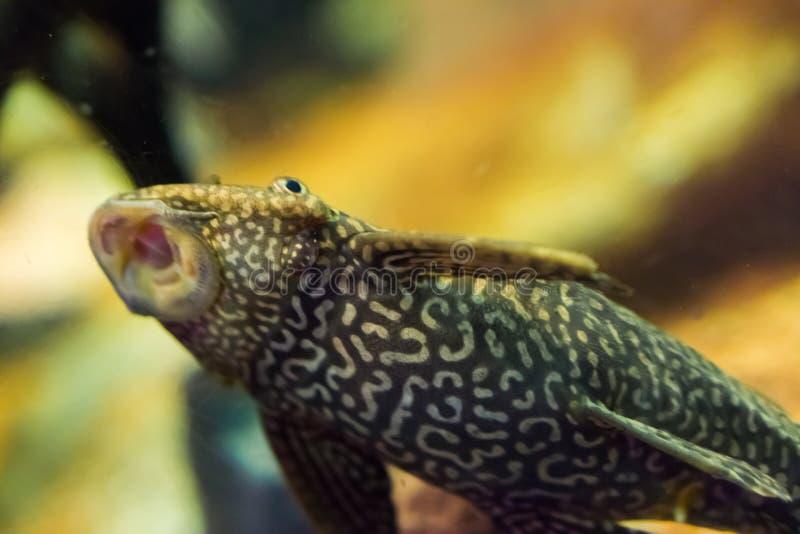 Αστείο γατόψαρο κατώτατων κατοίκων suckermouth με την απορρόφηση σχεδίων τιγρών με το ανοικτό κατοικίδιο ζώο ψαριών στοματικών τρ στοκ φωτογραφία