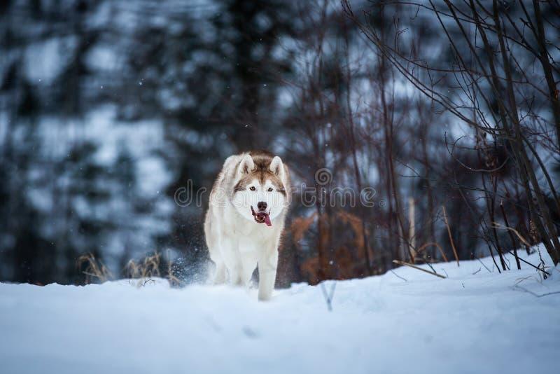 Αστείο και ευτυχές μπεζ και άσπρο σιβηρικό γεροδεμένο τρέξιμο φυλής σκυλιών στην πορεία χιονιού στο δάσος στοκ εικόνες