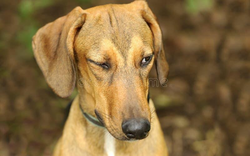 Αστείο κλείσιμο του ματιού σκυλιών στοκ φωτογραφίες