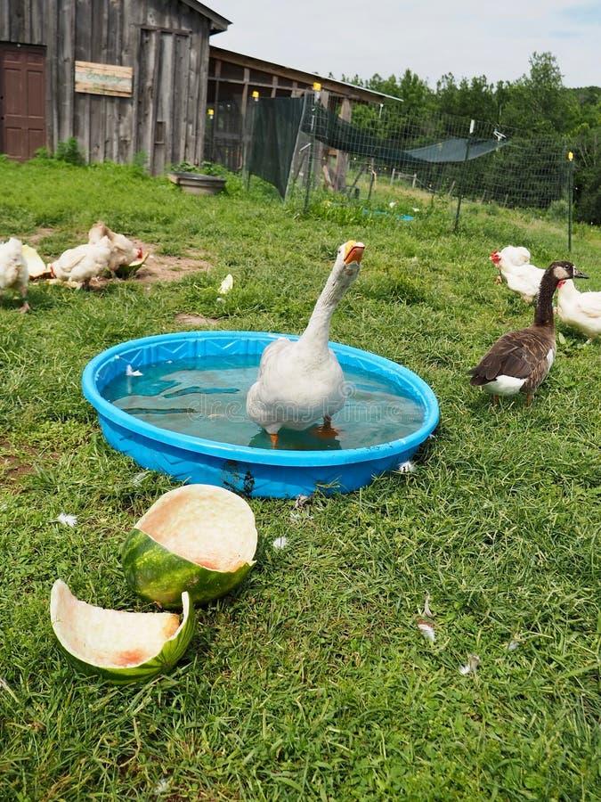 Αστείο παιχνίδι αγροτικών χήνων στη λίμνη στοκ εικόνες με δικαίωμα ελεύθερης χρήσης
