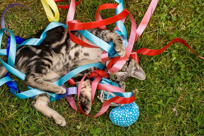 Αστείο παιχνίδι γατακιών κατοικίδιων ζώων με τον στοκ φωτογραφίες με δικαίωμα ελεύθερης χρήσης