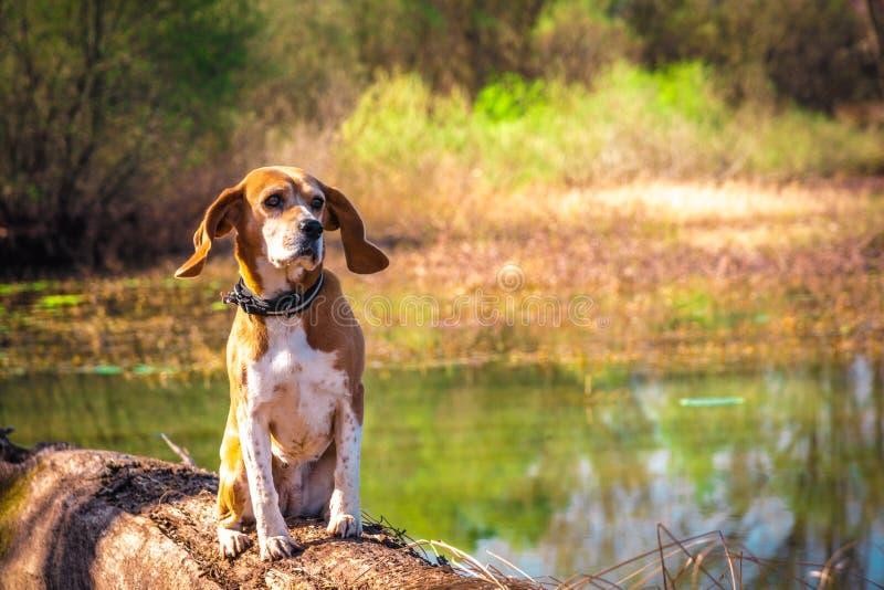 Αστείο πορτρέτο του καθαρού σκυλιού λαγωνικών φυλής που κάθεται στην όχθη της λίμνης κορμών στοκ εικόνες