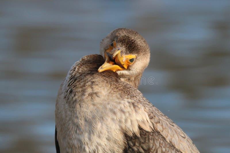Αστείο πουλί - στενός επάνω κορμοράνων με ένα ανοικτό ράμφος στοκ εικόνα με δικαίωμα ελεύθερης χρήσης