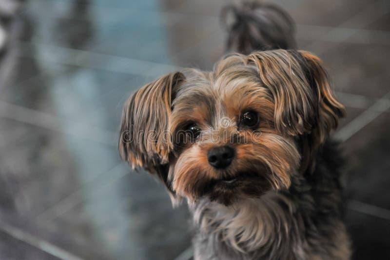 Αστείο πρόσωπο σκυλιών Pekingese στοκ εικόνα με δικαίωμα ελεύθερης χρήσης