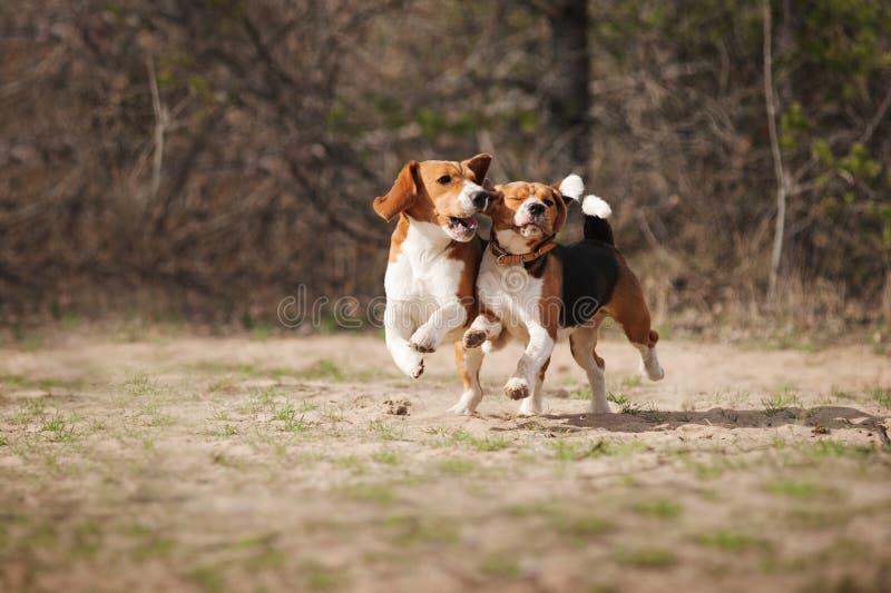Αστείο τρέξιμο σκυλιών λαγωνικών στοκ φωτογραφία με δικαίωμα ελεύθερης χρήσης