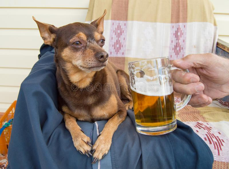 Αστείο χαριτωμένο σκυλί με μια μπύρα, η οποία προσφέρει τον ιδιοκτήτη της χιούμορ στοκ εικόνες με δικαίωμα ελεύθερης χρήσης