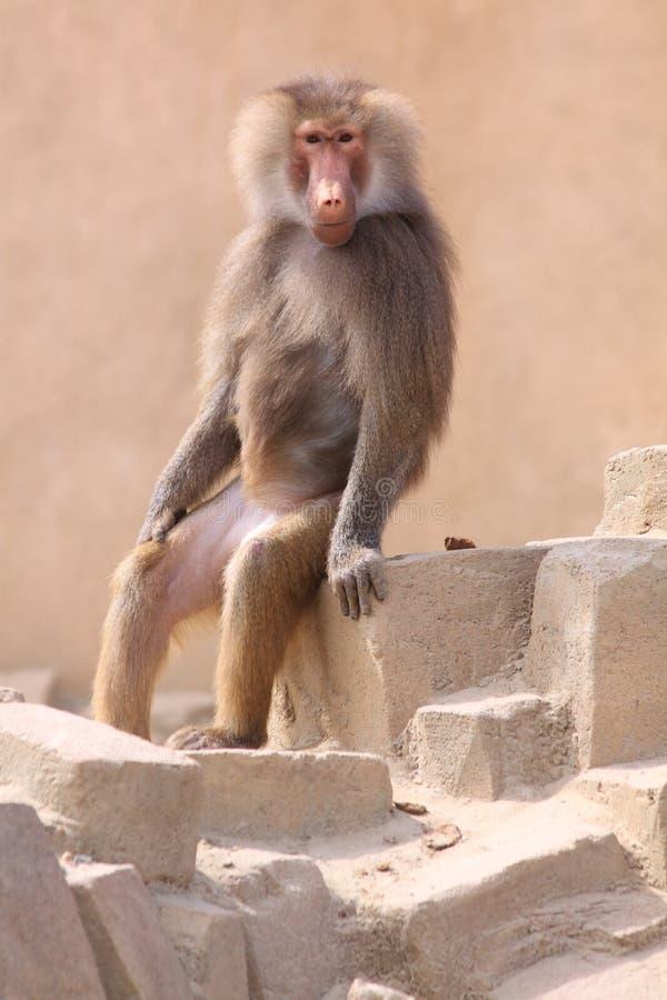 Αστείο baboon hamadryas συνεδρίασης στοκ εικόνες με δικαίωμα ελεύθερης χρήσης