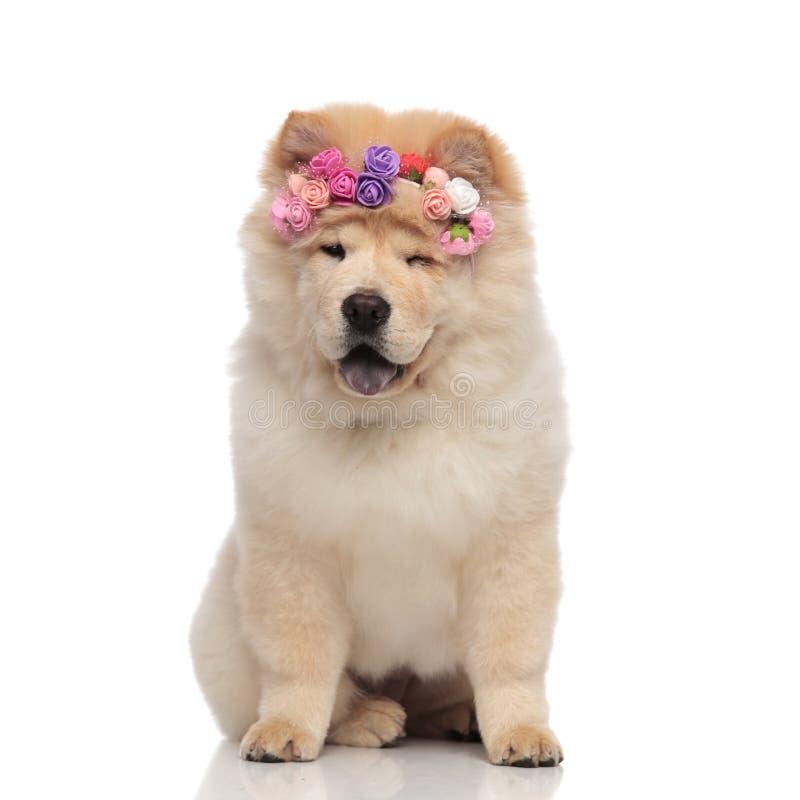 Αστείο chow chow που φορά τη φρέσκα headband λουλουδιών συνεδρίαση και το κλείσιμο του ματιού στοκ φωτογραφίες με δικαίωμα ελεύθερης χρήσης