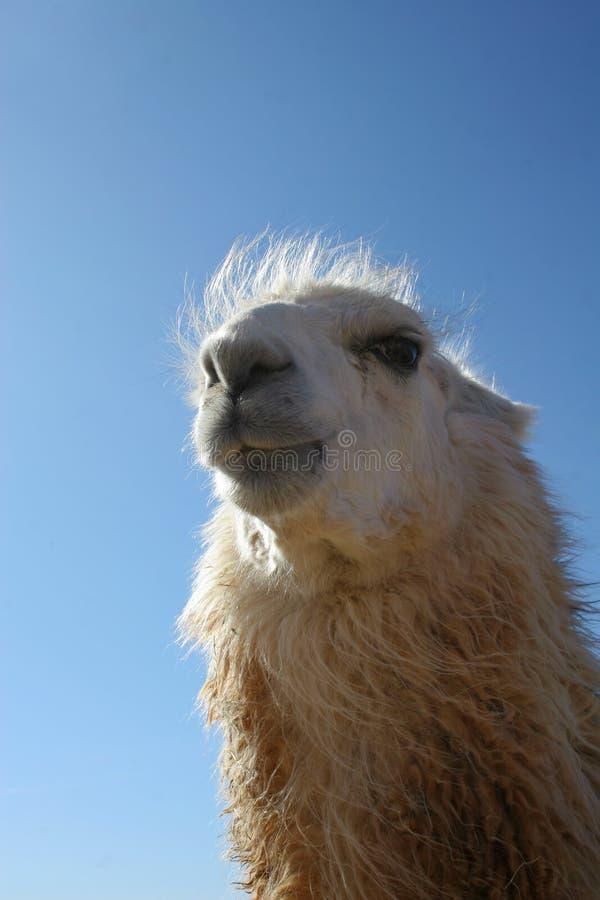 αστείο llama προσώπου στοκ φωτογραφία
