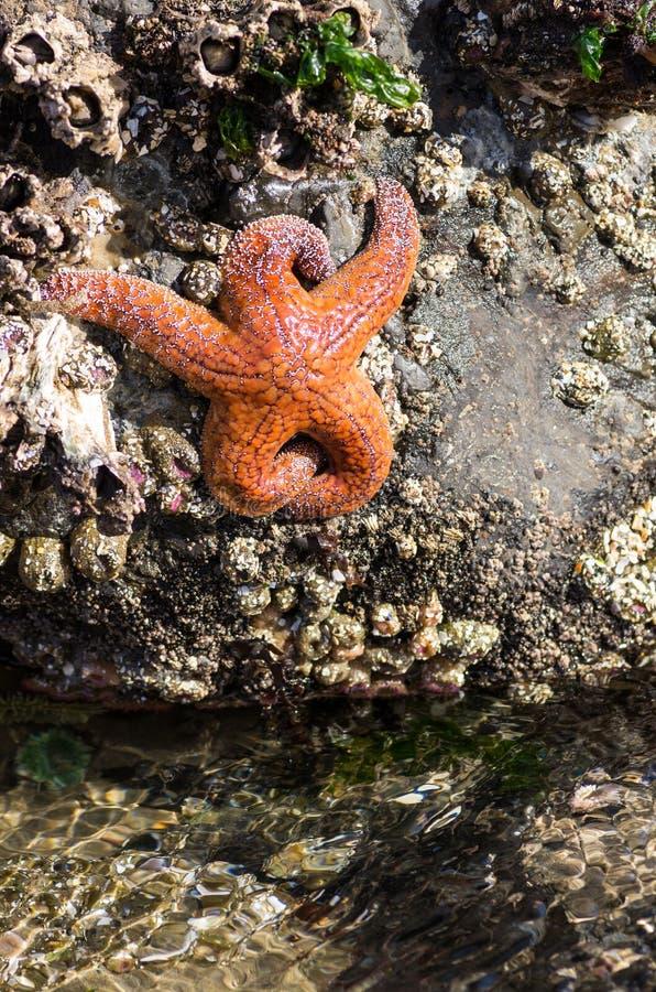 Αστερίας που προσκολλάται στους βράχους σε μια παλιρροιακή λίμνη στοκ εικόνες