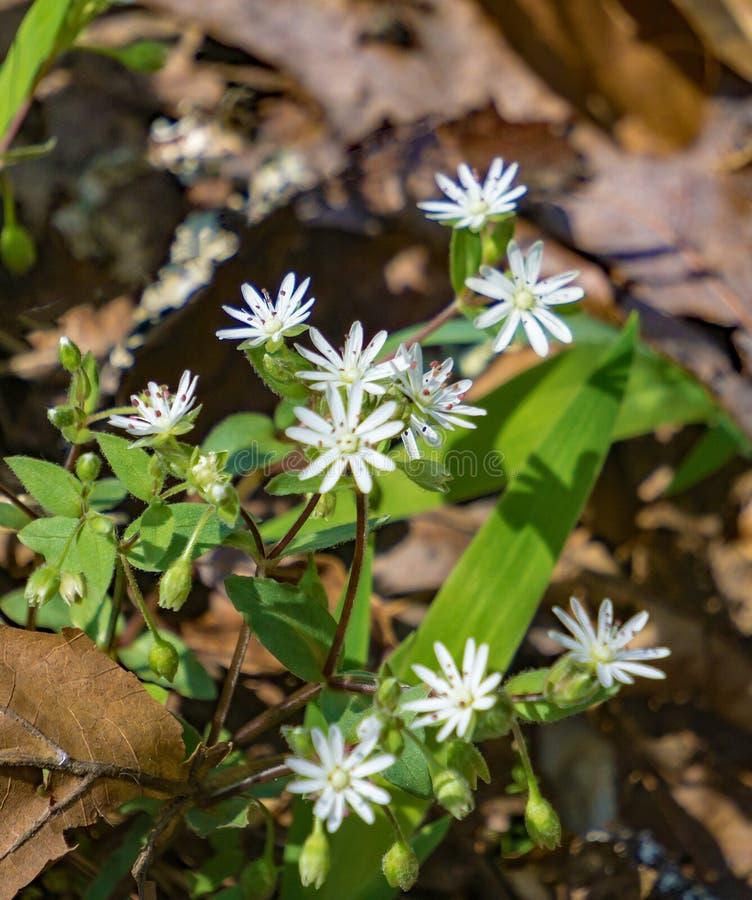 Αστερίσκοι Αγριολούλουδα, Stellaria pubera στοκ εικόνες με δικαίωμα ελεύθερης χρήσης