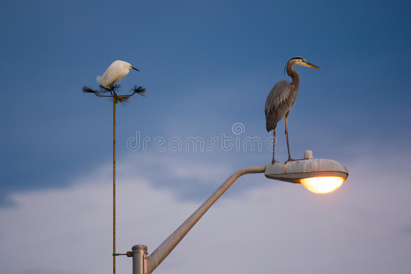 Αστικοί τσικνιάς και ερωδιός πουλιών στοκ εικόνες