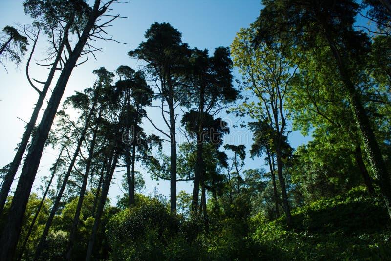 Αστικό δάσος με τον ψηλό ευκάλυπτο σε Benfica, Λισσαβώνα, Πορτογαλία στοκ εικόνα