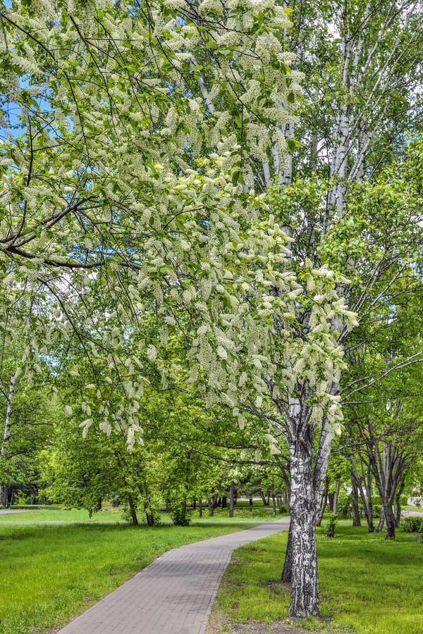 Αστικό τοπίο άνοιξη στο πάρκο πόλεων με τα ανθίζοντας δέντρα κερασιών πουλιών στοκ φωτογραφία