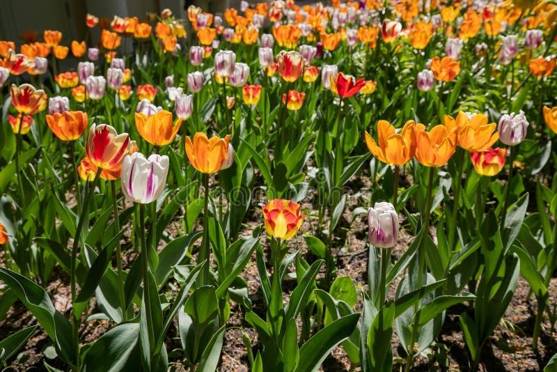 Αστικό Flowerbed με τα φυτευμένα λουλούδια τουλιπών στοκ εικόνες