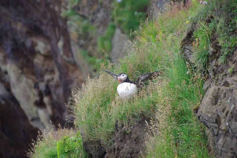Ατλαντική πτήση puffin της Ισλανδίας ενός απότομου βράχου στοκ εικόνες