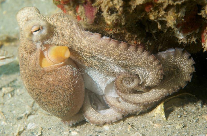 ατλαντικό κοινό χταπόδι στοκ φωτογραφία