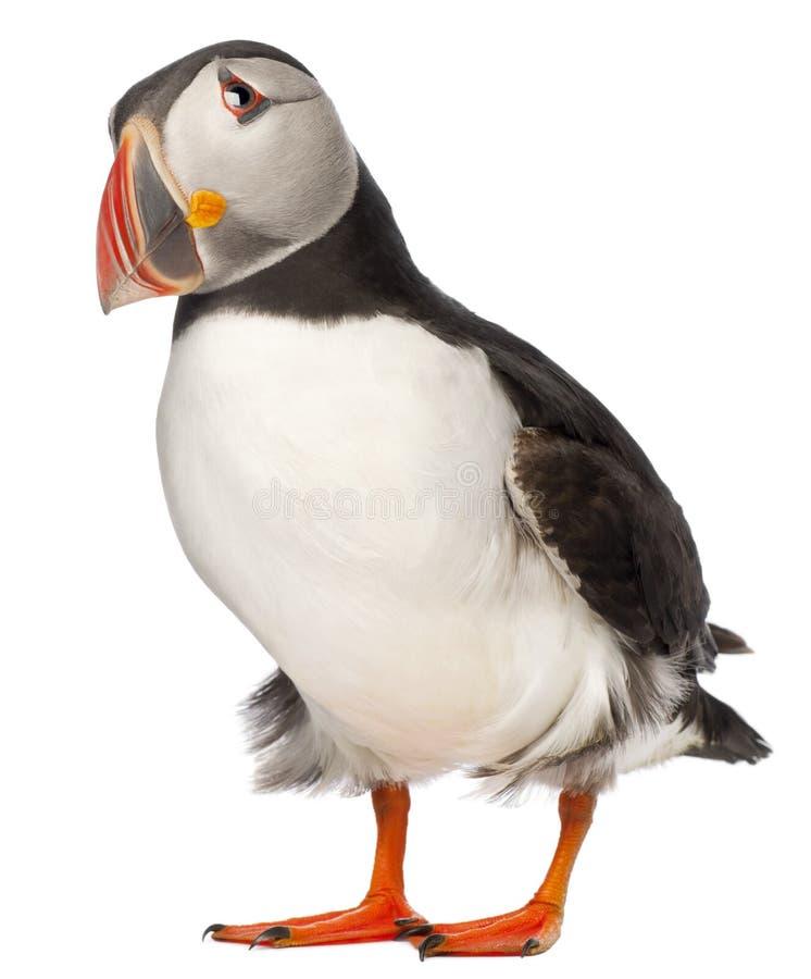 ατλαντικό κοινό puffin