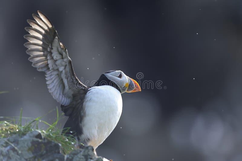 ατλαντικό fratercula arctica puffin στοκ φωτογραφία με δικαίωμα ελεύθερης χρήσης