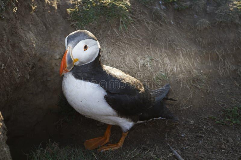 Ατλαντικό Puffin στο νησί Skomer, Ουαλία στοκ φωτογραφία με δικαίωμα ελεύθερης χρήσης