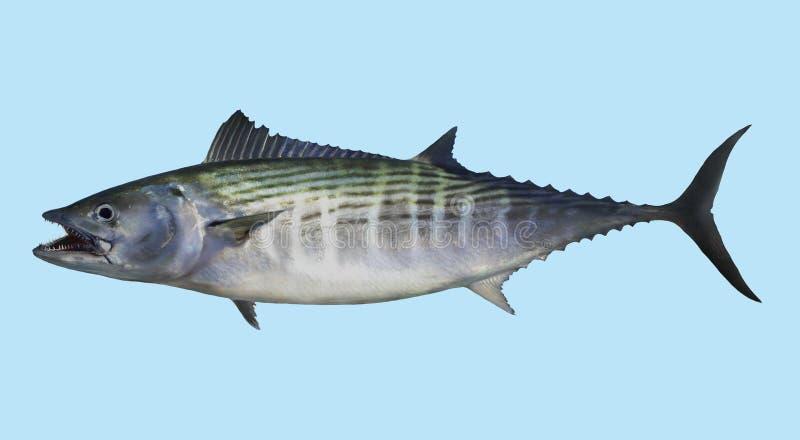 Ατλαντικό πορτρέτο αλιείας παλαμίδων στοκ φωτογραφίες με δικαίωμα ελεύθερης χρήσης