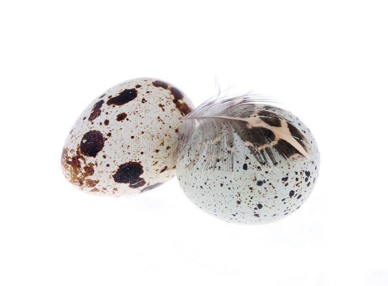 Αυγά νησοπέρδικων με το φτερό που απομονώνεται στοκ εικόνες