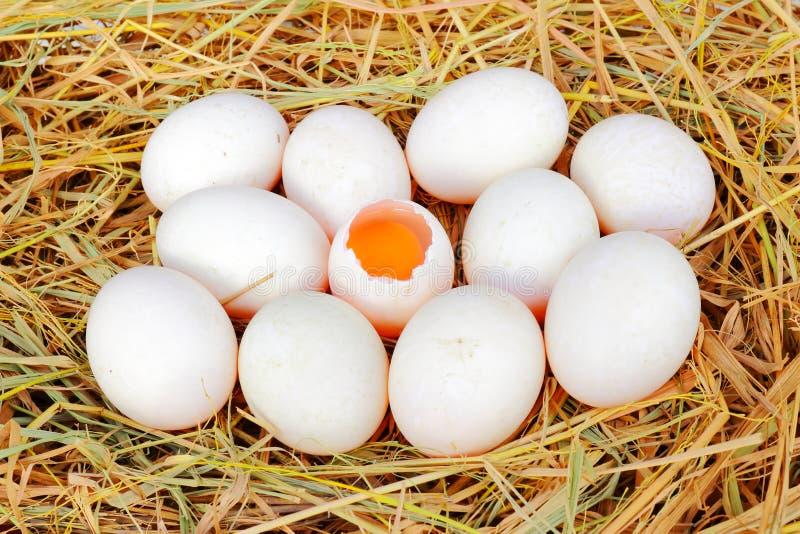 Αυγά παπιών στη φωλιά αχύρου στοκ εικόνες