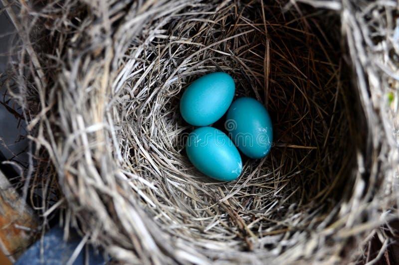 αυγά Robin στοκ εικόνες
