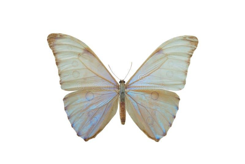 Αυγή Morpho πεταλούδων στοκ φωτογραφία με δικαίωμα ελεύθερης χρήσης