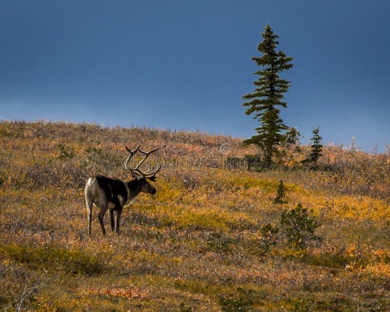 27 Αυγούστου 2016 - Caribou του Bull να ταΐσει με tundra στο εσωτερικό του εθνικού πάρκου Denali, Αλάσκα στοκ εικόνες
