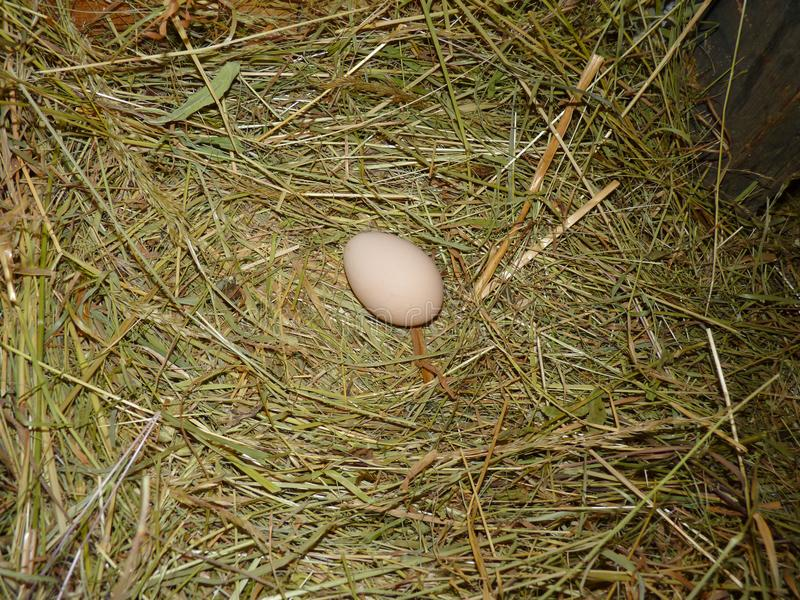 Αυγό κοτόπουλου κοτών στη φωλιά σανού στο μικρό αγρόκτημα στοκ εικόνα
