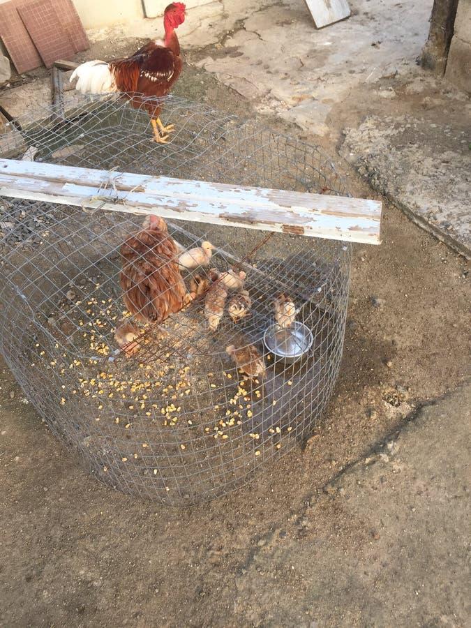 αυλή κοτόπουλων στοκ φωτογραφία