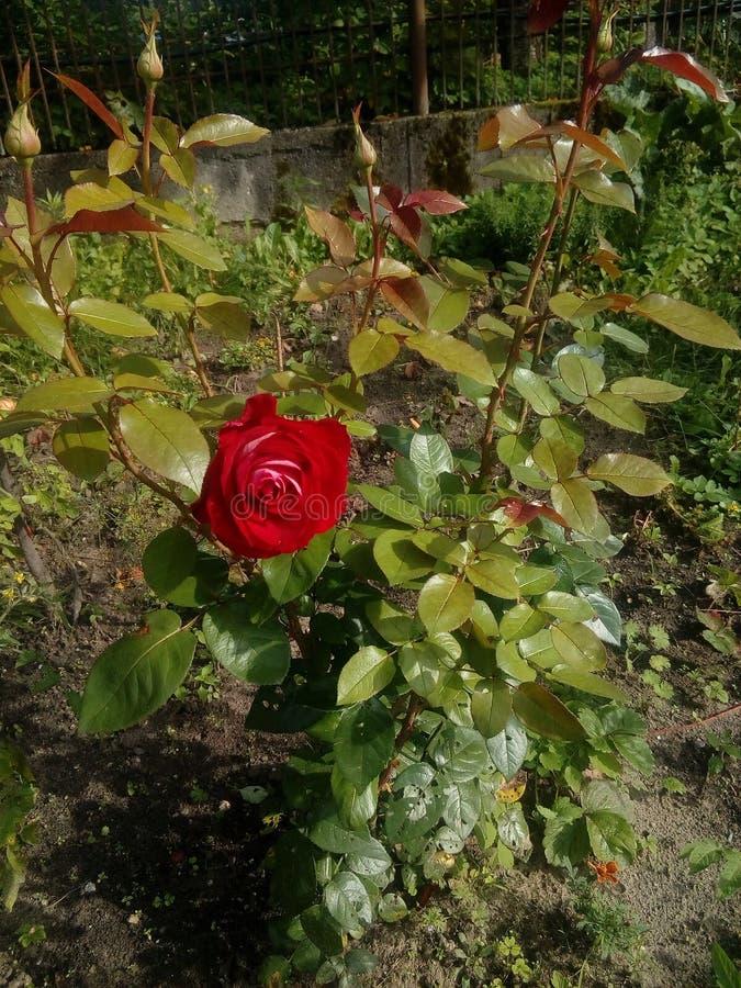 Αυξήθηκε από τον κήπο στοκ εικόνα