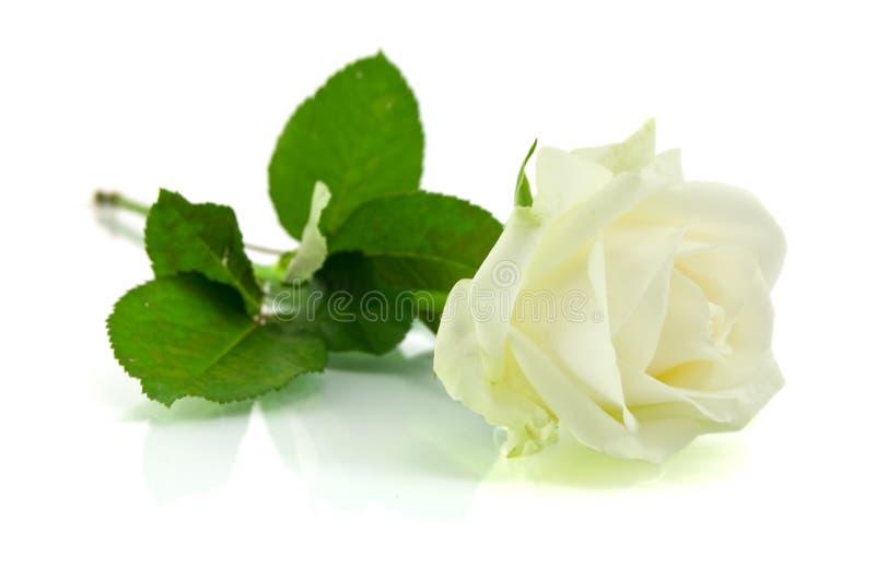 Download αυξήθηκε λευκό στοκ εικόνες. εικόνα από φυσικός, χαλάρωση - 22775742