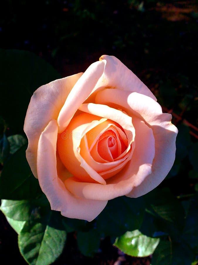 Αυξήθηκε λουλούδι κήπων τρυφερότητας πρωινού δροσιάς πρωινού που η όμορφη φρεσκάδα πρωινού λουλουδιών που ανθίζει αυξήθηκε τρυφερ στοκ φωτογραφία