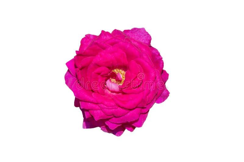 Αυξήθηκε λουλούδι που απομονώθηκε στο άσπρο υπόβαθρο στοκ φωτογραφίες