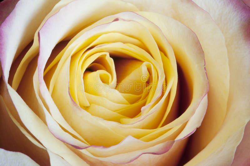 Αυξήθηκε μακροεντολή λουλουδιών στοκ φωτογραφία με δικαίωμα ελεύθερης χρήσης