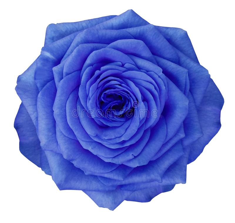 Αυξήθηκε μπλε λουλούδι απομονωμένο στο λευκό υπόβαθρο με το ψαλίδισμα της πορείας Καμία σκιά closeup στοκ εικόνα με δικαίωμα ελεύθερης χρήσης