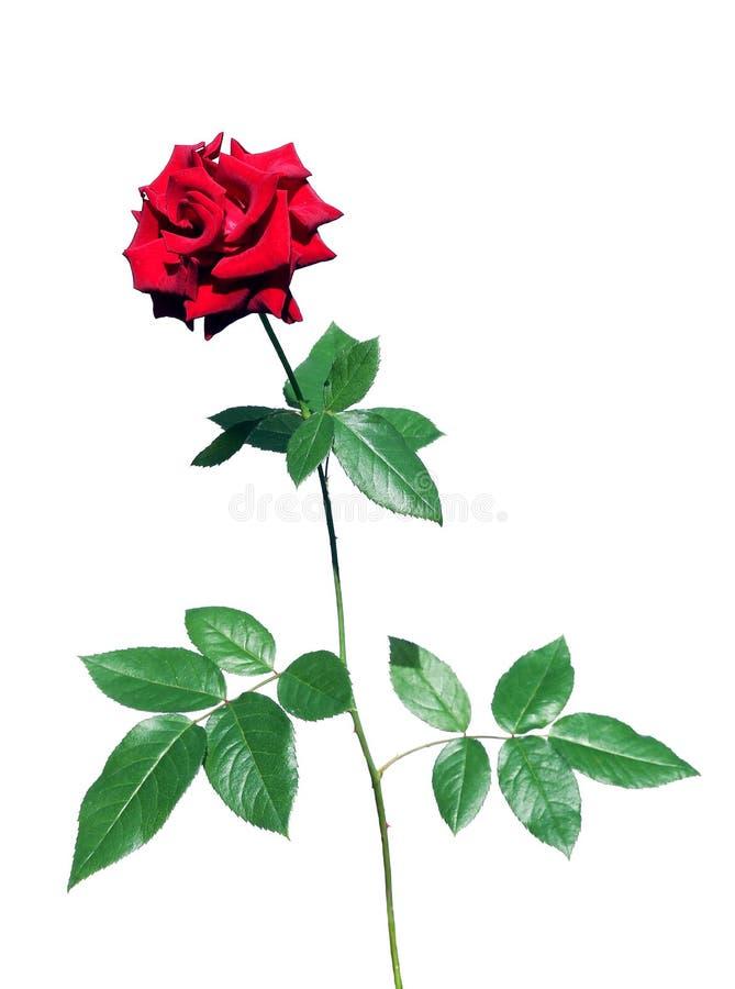 Αυξήθηκε λουλούδι που απομονώθηκε στοκ εικόνα με δικαίωμα ελεύθερης χρήσης