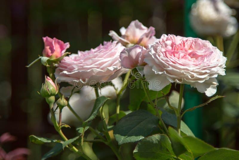 Αυξήθηκε λουλούδι στην κινηματογράφηση σε πρώτο πλάνο φυλλώματος στοκ φωτογραφίες με δικαίωμα ελεύθερης χρήσης