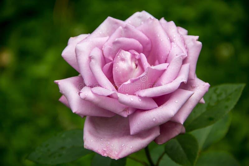 Αυξήθηκε λουλούδι στην κινηματογράφηση σε πρώτο πλάνο φυλλώματος στοκ φωτογραφία με δικαίωμα ελεύθερης χρήσης