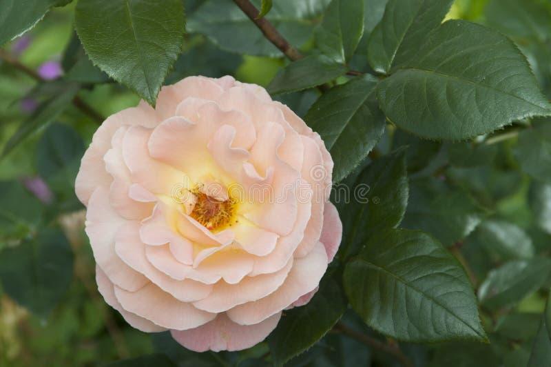 Αυξήθηκε λουλούδι στοκ φωτογραφίες με δικαίωμα ελεύθερης χρήσης