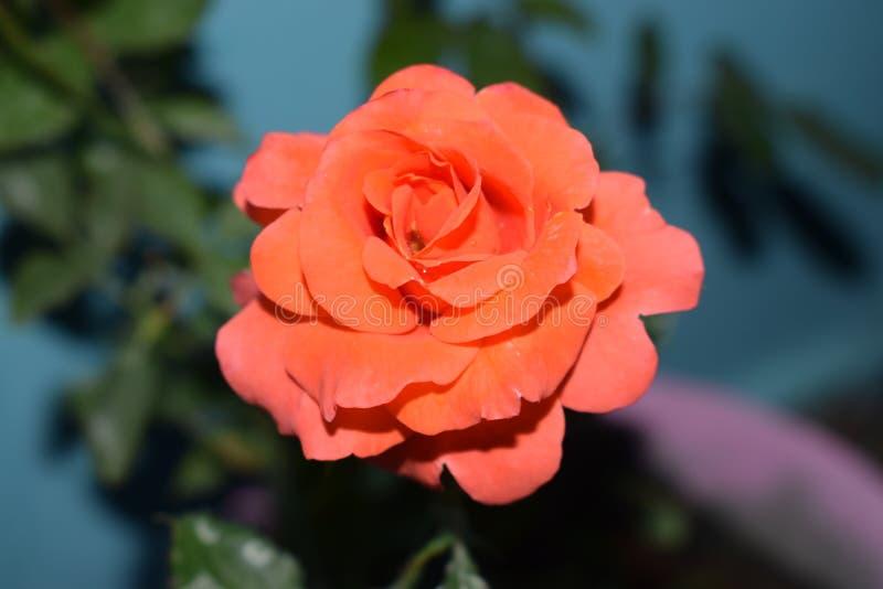 Αυξήθηκε πορτοκάλι λουλουδιών στοκ φωτογραφίες με δικαίωμα ελεύθερης χρήσης