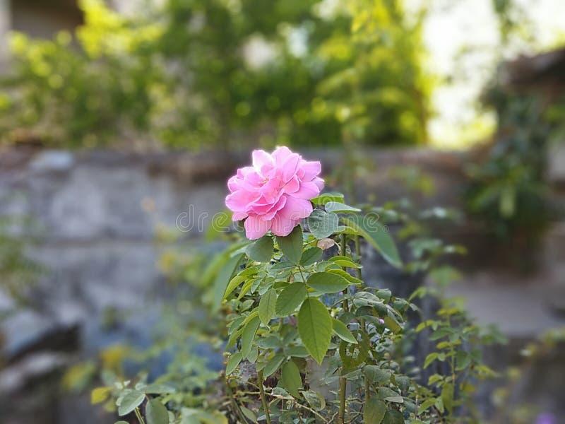 Αυξήθηκε ροζ λουλουδιών στοκ φωτογραφίες με δικαίωμα ελεύθερης χρήσης